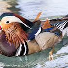 Mandarin Duck; Pato Mandarin