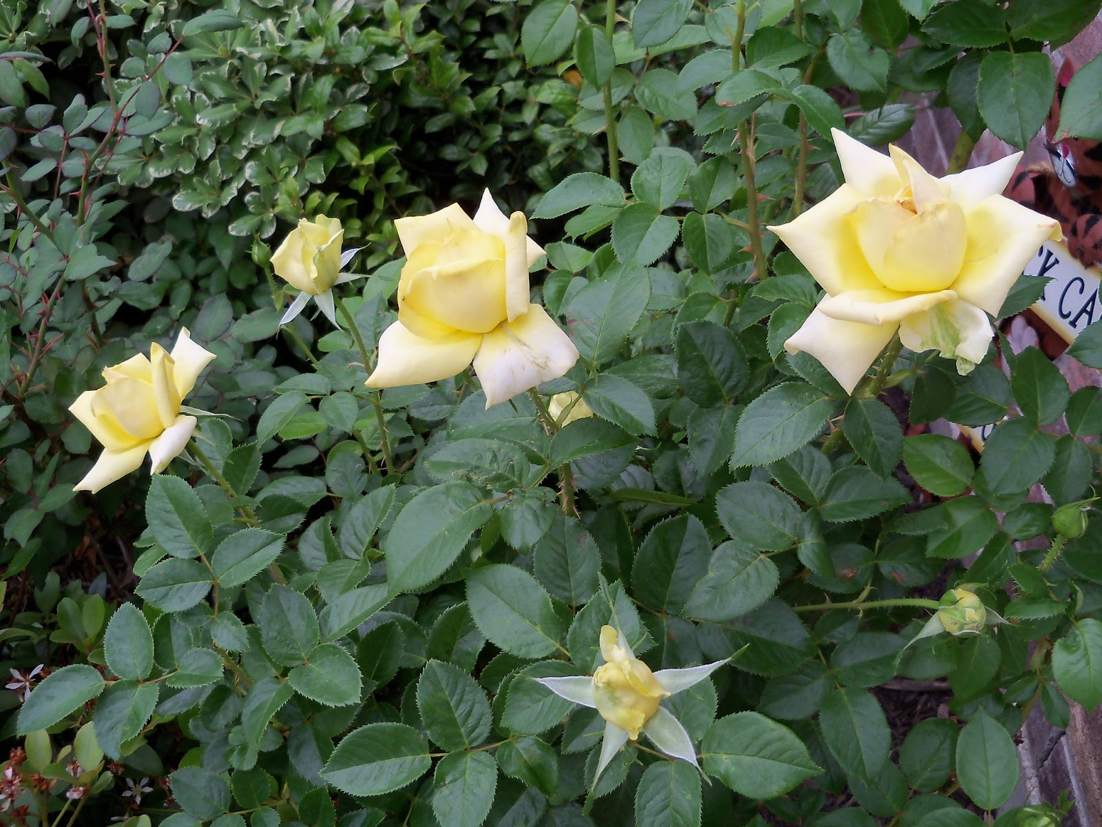 Gardening 2011 - 100_7250.JPG