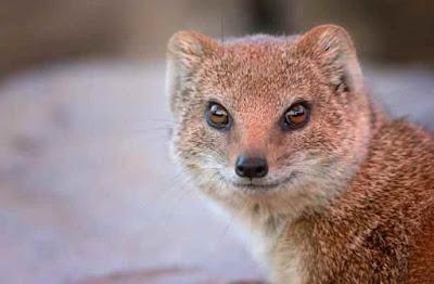 नेवले से जुड़े 31 रोचक तथ्य | 31 Interesting Facts About Mongoose In Hindi