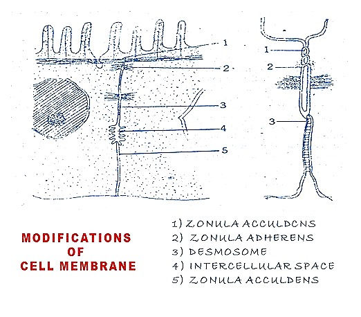 plasma-mambrane-cell mambrane (3)