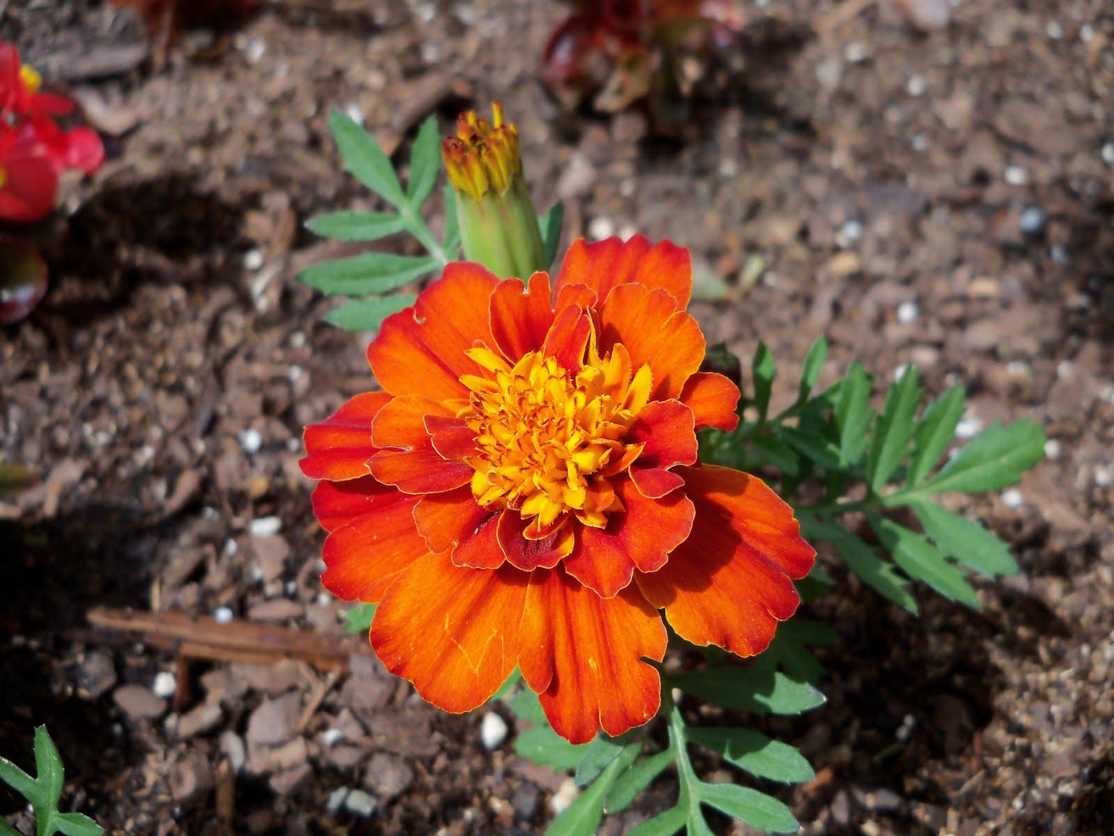 Gardening 2010 - 101_0382.JPG