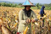 Kementan Pantau Jagung NTB Masih Melimpah dan Siap Panen di Bulan April-Mei