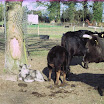 koeien 003.jpg