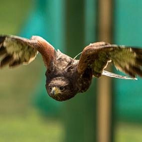 Harris Hawk by Mike Ellis - Animals Birds ( bird of prey, harris hawk, hawk )