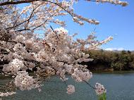 桜並木の桜 (2014.4.4)