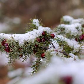 Šmrika by Dalibor Jud - Nature Up Close Other plants ( croatia, l., snijeg, smrika, nature, juniperus, snow, oxycedrus, winter, juniperus oxycedrus l., šmrika )