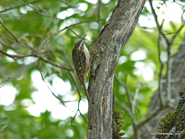 brown-creeper.jpg