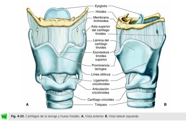 Dr.SoTello: Cartílagos de la laringe