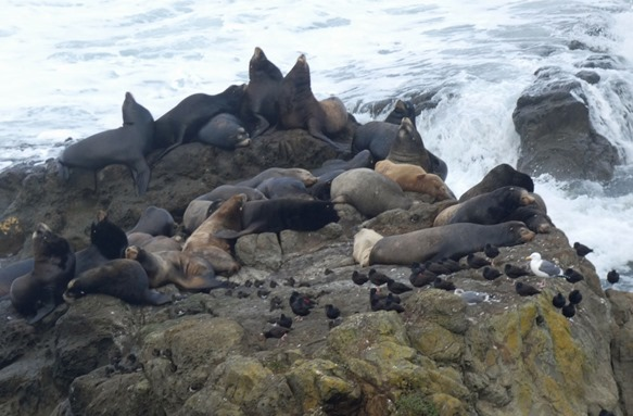 Sea Lions and Oystercatchers (2)