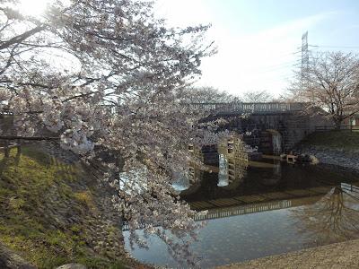 加持顕の日々是新潟  加治川治水記念公園(新発田市真野原)の桜2014