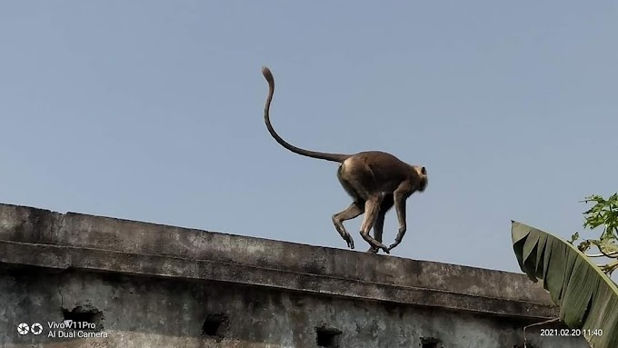 बंदरों के आतंक से परेशान पुरे उत्तर बिहार