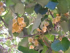 цветет киви