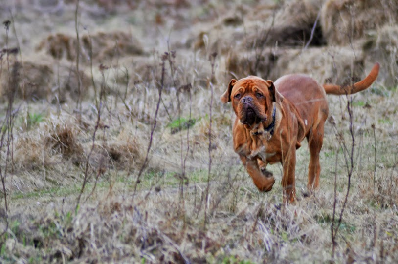 dogue de bordeaux biegnie