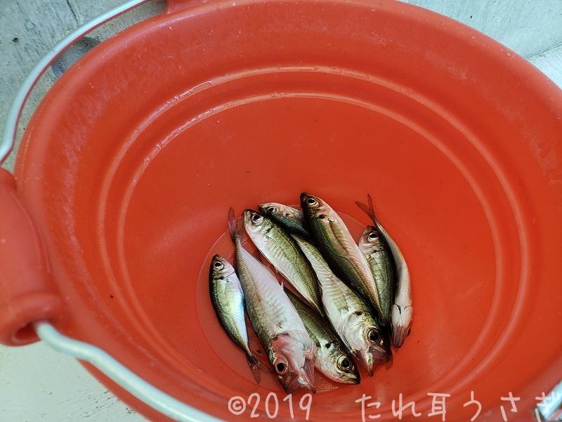 城崎マリンワールドのアジ釣りのコツ レビュー・口コミ 天ぷらが絶品