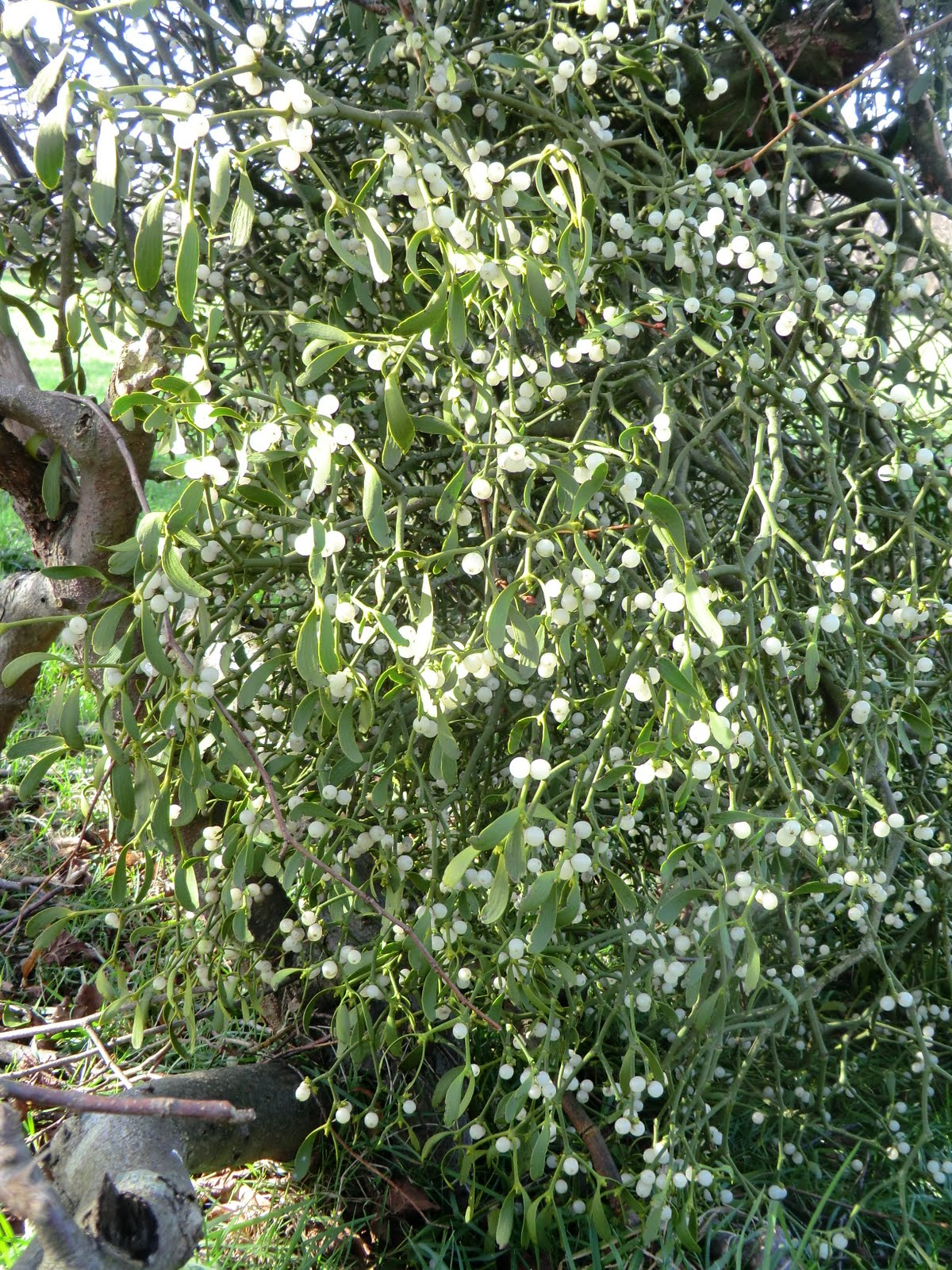 CIMG9934 Fallen branch with mistletoe, Penshurst Park