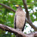 Eagle - Crested Serpent Eagle