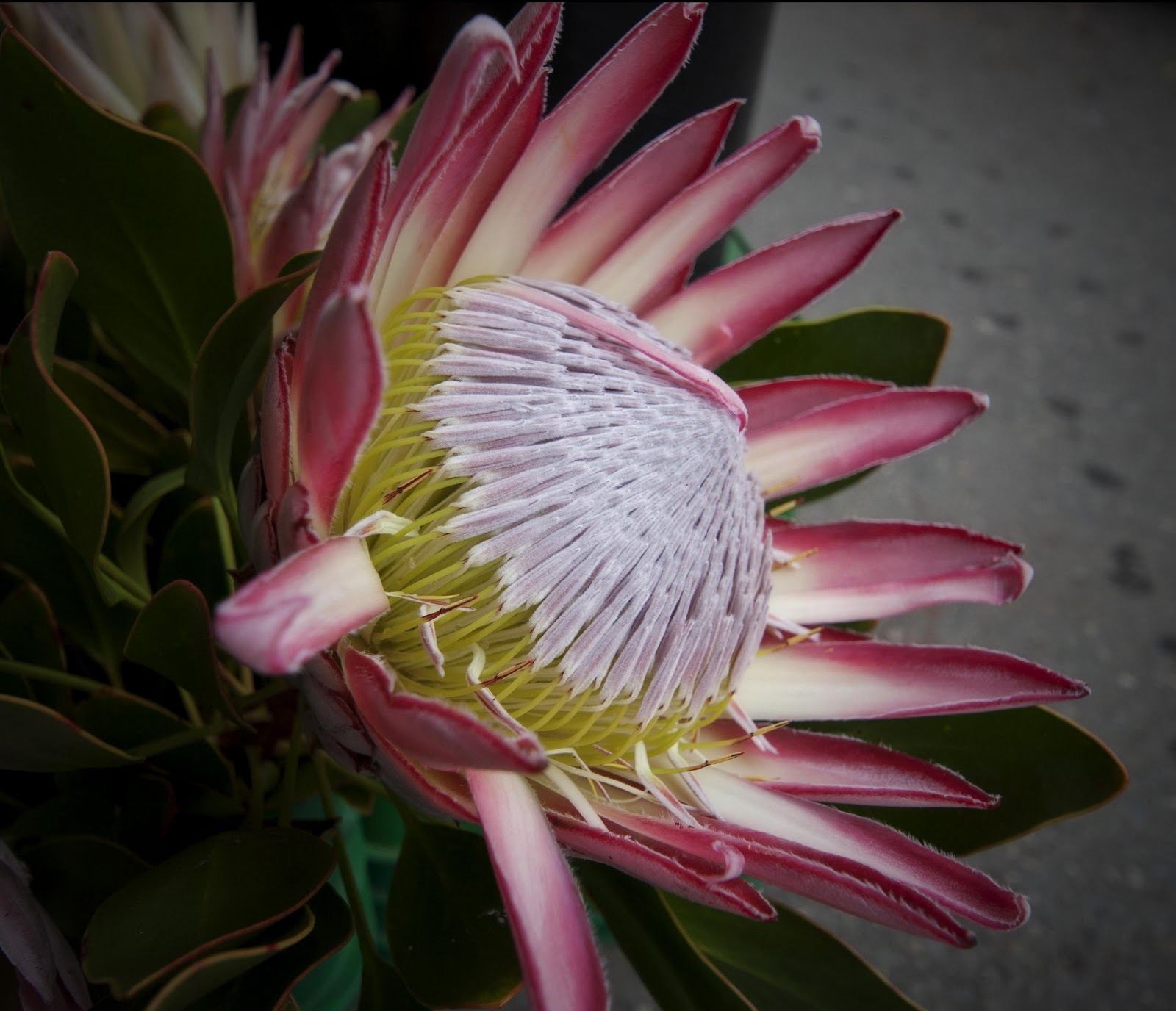 A Photo A Day The Waratah A Beautiful Flower Native To Australia