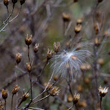 Milkweed-and-Knapweed_MG_2122-copy.jpg