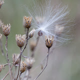 Knapweed-and-milkweed-seed_MG_2119-copy.jpg