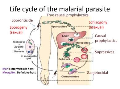 antimalarial drugs pdf