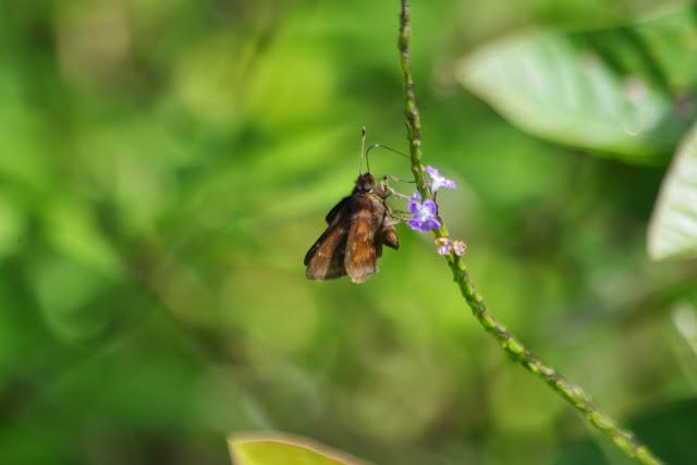Quinta cannae (HERRICH-SCHÄFFER, 1869), femelle. Vallée du Rio Guallupe, 1600 m (Imbabura, Équateur), 2 décembre 2013. Photo : J.-M. Gayman