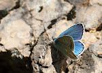 Hvidrandet blåfugl, dorylas, han5.jpg
