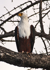African Fish Eagle, South Africa