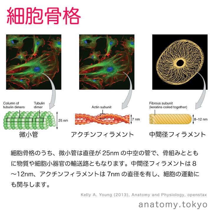 t111-28-細胞骨格.png