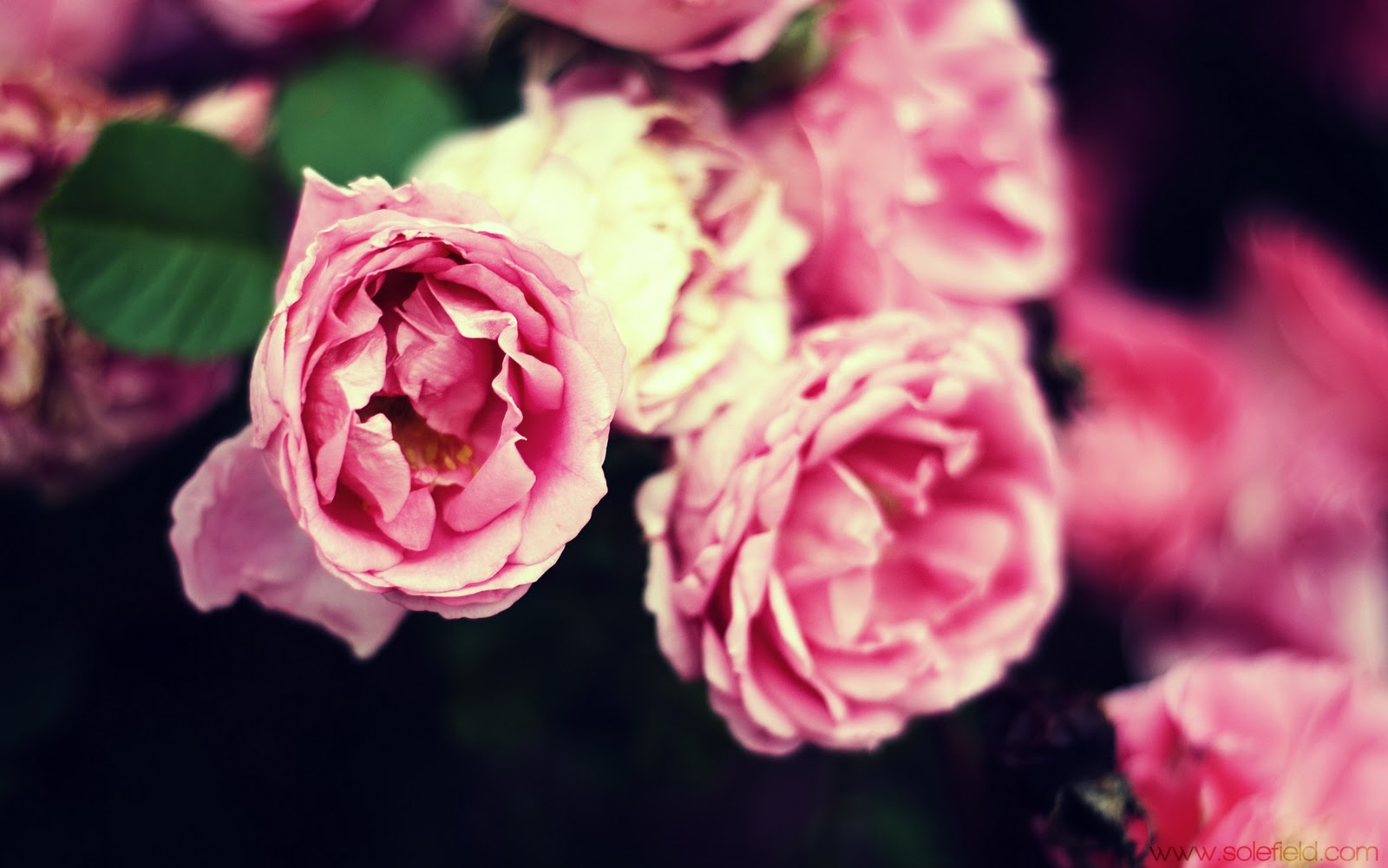 Tiny Pink Roses Bloomed in Spring, 2011 free download wallpapers title=
