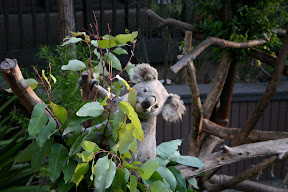 Smiling Koala, San Diego Zoo