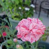 Gardening 2012 - 115_2344.JPG