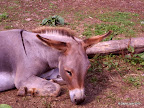 dösender Esel
