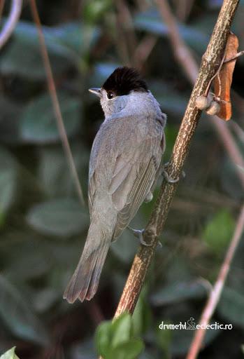 Sylvia atricapilla silvie cap negru blackcap sylviidae songbirds birds birdwatching fores padure pasari cantatoare