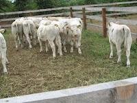 A Cattle penning versenyszám főszereplői.jpg