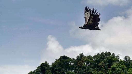 Vultures soar back into Pokhara