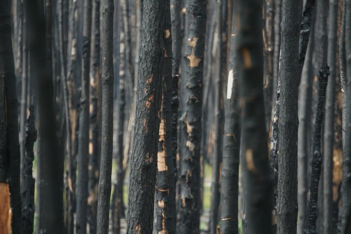 лес горелый