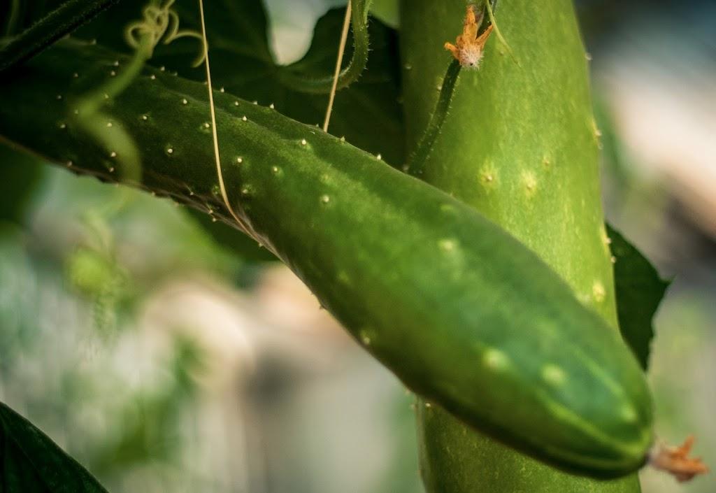 Cucumbers-02
