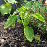 Gardening 2010, Part Two - 101_2641.JPG