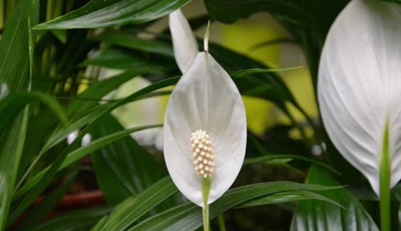 Bunga Peace Lily yang memiliki nama lain Spathiphyllum