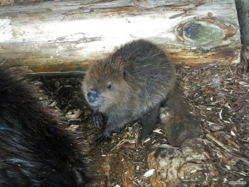 beaver03.jpg