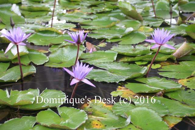 A wider view of the purple waterlilies