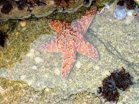 Starfish, 17 Mile Drive