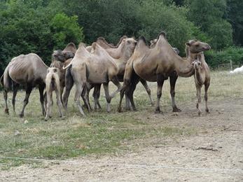 2018.07.19-036 chameaux de Bractiane