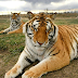 Big cats: US senators seek ban on private ownership of lions and tigers