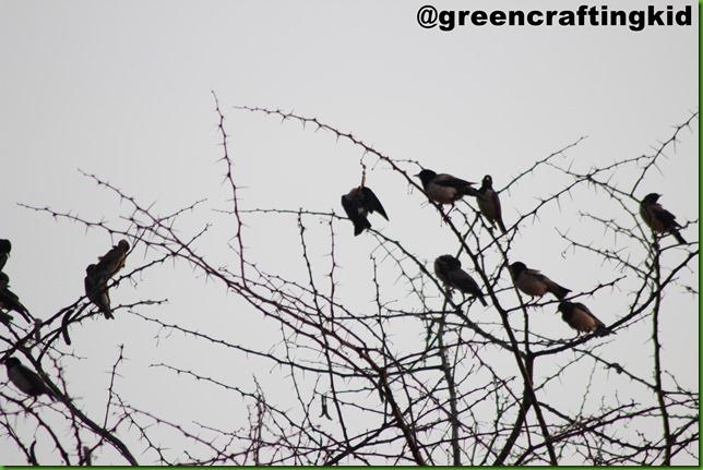 Black headed cuckoo Shirke