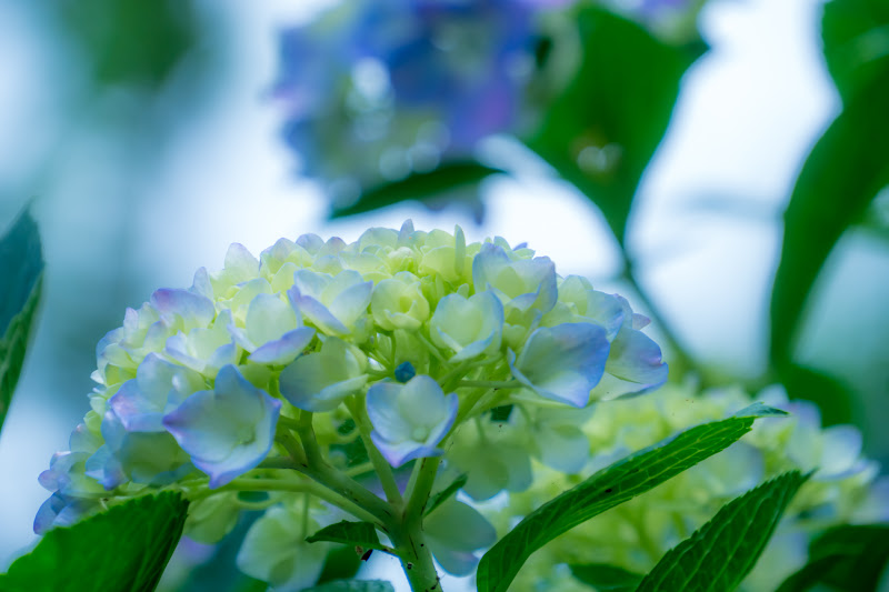 Hydrangea flowers at Takahatafudoson Kongoji Temple7