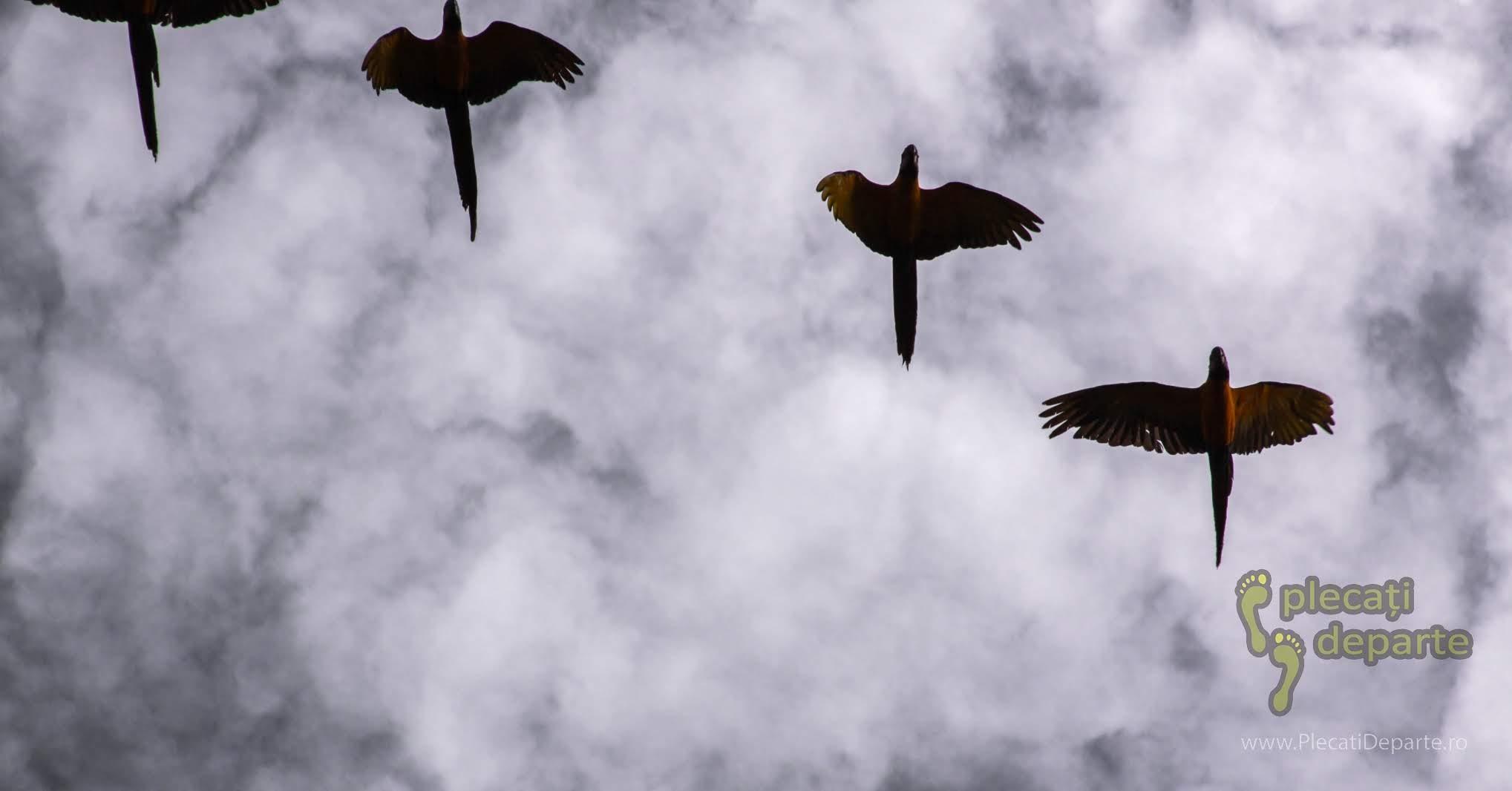 Papagali marele alexandru, in zbor in jungla amazoniana, Rezervatia Nationala Pacaya-Samiria, Peru