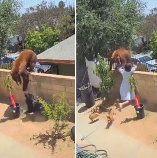 Teenager who fought off bear to save her dogs reveals what motivated her (video)