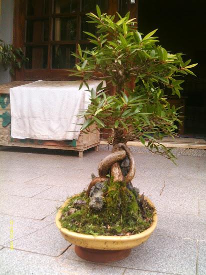 Ficus Nerifolia, Uma raiz de 3 anos... - Página 2 IMAG0094