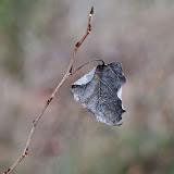 Buckthorn-leaf_MG_2741-copy.jpg